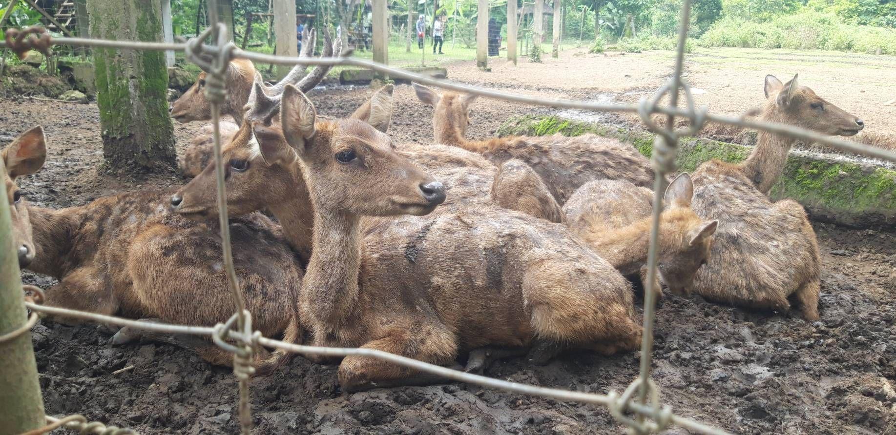 Sekelompok rusa yang 'memelas'. Dokpri,