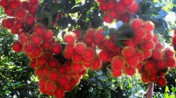 Rambutan pohon. Foto: distanbun.acehprov.go.id