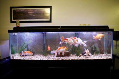 3 Hal yang Wajib Dimiliki untuk Memelihara Ikan Koi ...