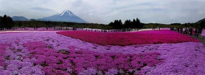 Kolaborasi Gunung Fuji dengan Shibazakura (dokpri)
