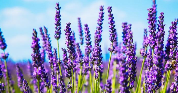 ilustrasi lavender   sumber: http://durban.getitonline.co.za
