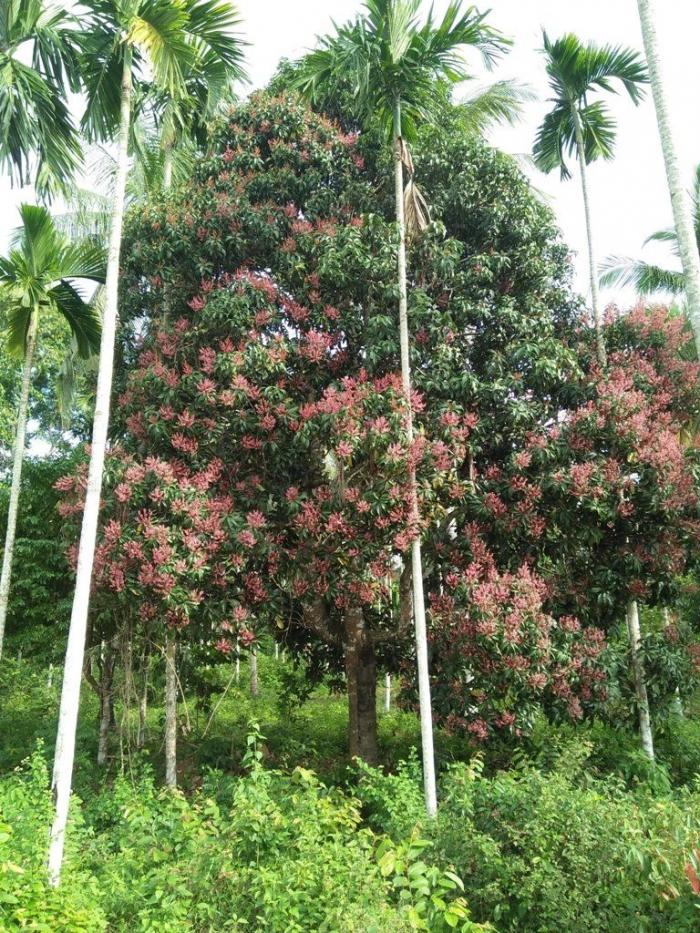 Pohon macang sedang berbunga. Sumber ilustrasi : busy.org@siren7