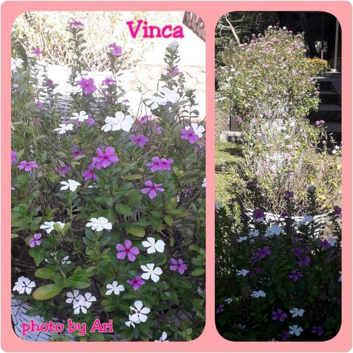 Vinca. Tapak dara. Photo by Ari