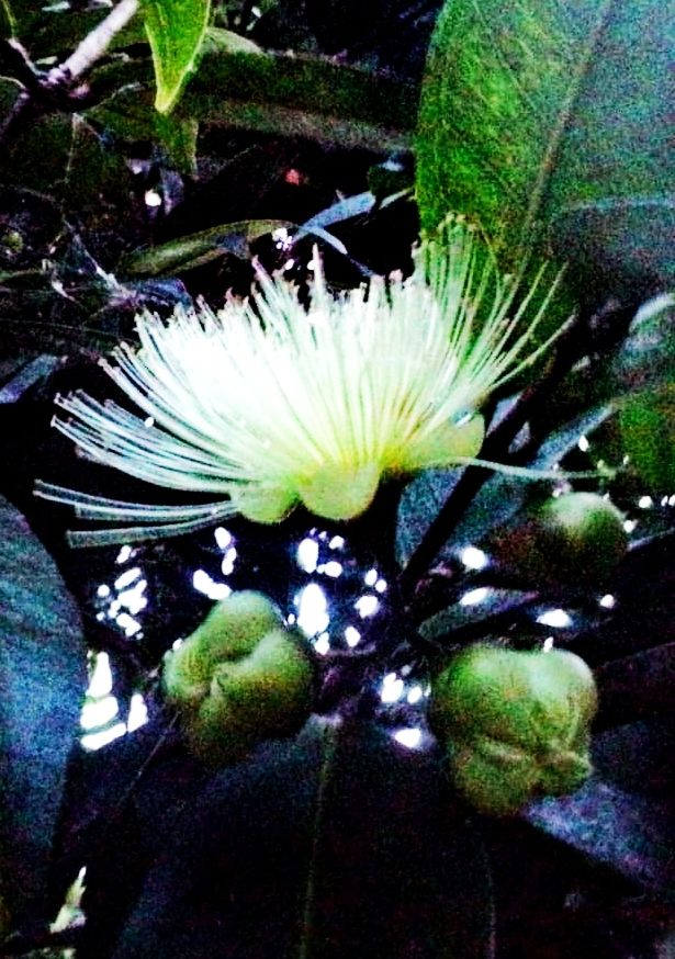 kuncup dan bunga sebelum menjadi buah| Foto: koleksi pribadi