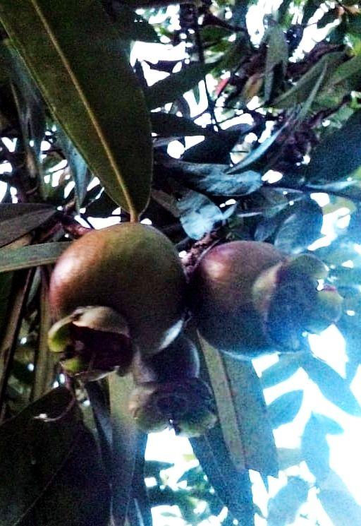 buah jambu yang semakin besar| Foto: koleksi pribadi