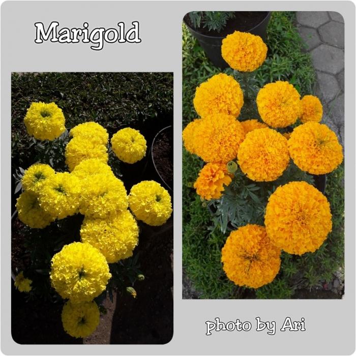 Marigold. Photo by Ari