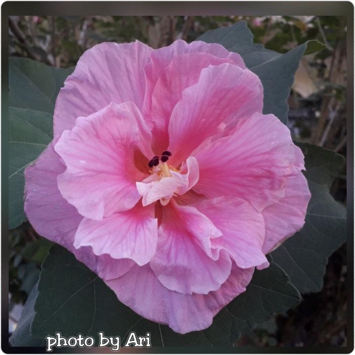 Hibiscus. Photo by Ari