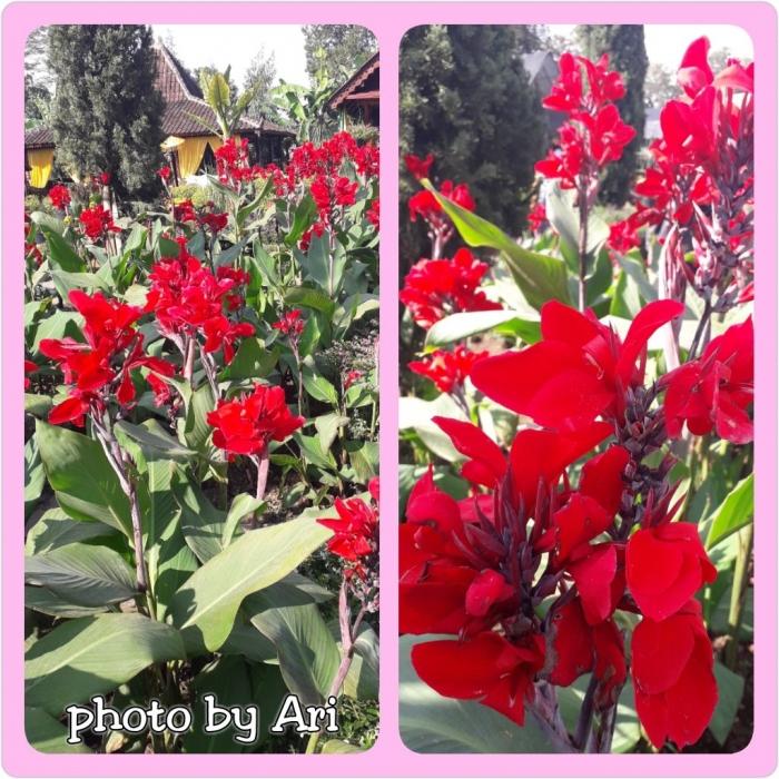 Bunga Kana. Photo by Ari