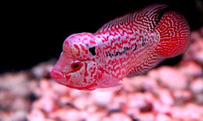 Jenis Ikan Louhan Paling Populer Halaman All Kompasiana Com