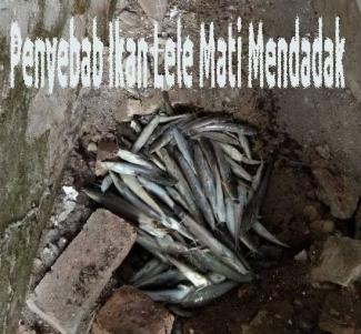 4 Penyebab Ikan Lele Mendadak Mati Massal Halaman All Kompasiana Com