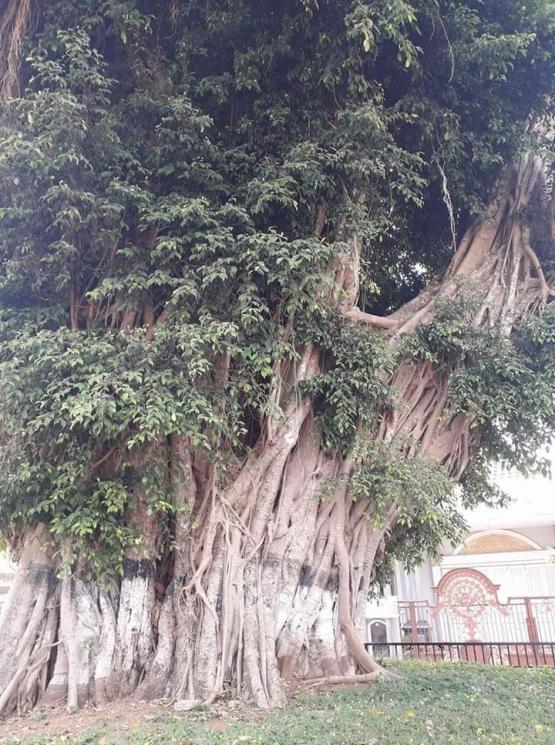 Pohon Beringin di aljn-alun Purwokerto. Photo by Ari