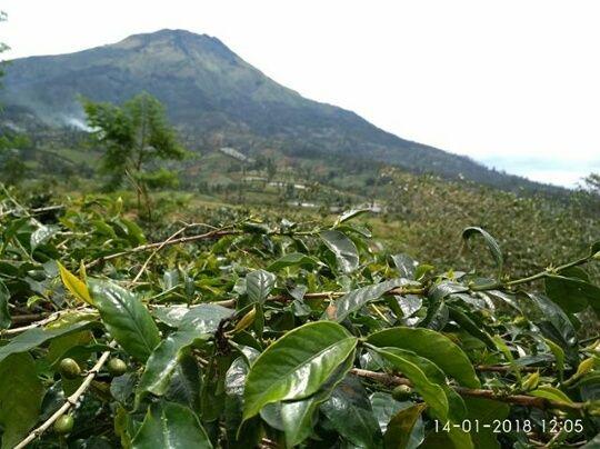 Arabika dengan Background Gunung Sumbing (Sumber Dokumentasi: dhyancoffee.farm)