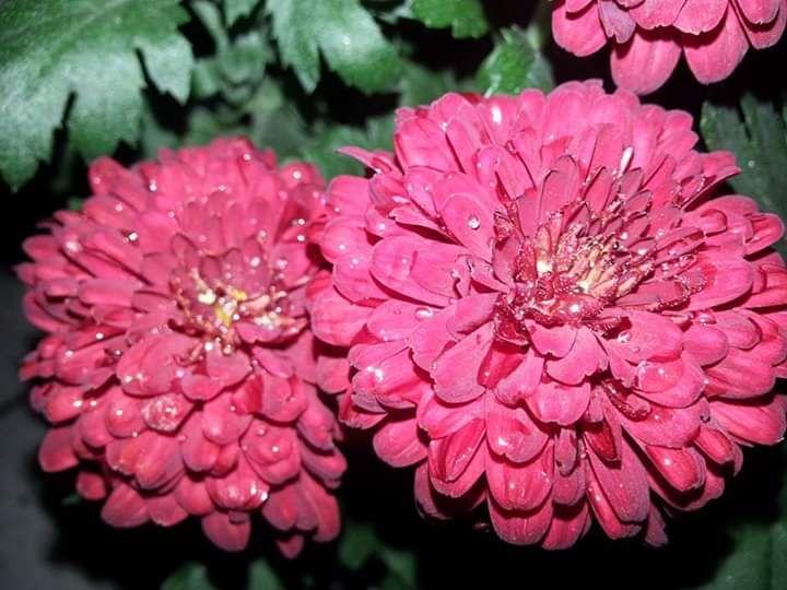 Bunga Krisan merah marun koleksiku. Selepas hujan di suatu hari menjadi sesegar ini. Photo by Ari
