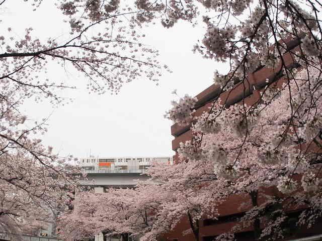 Tama Monorail dan Sakura (dokumentasi pribadi)