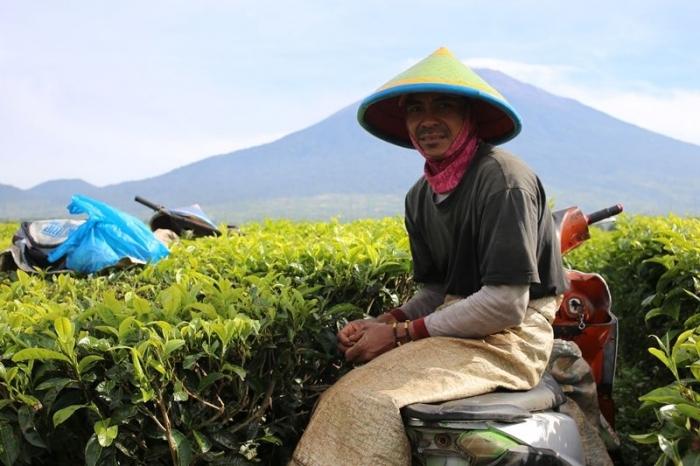 Kebun teh Kayu Aro, di bawah kaki Gunung Kerinci salah satu penghasil daun teh terbaik (Doc. Marahalim Siagian)