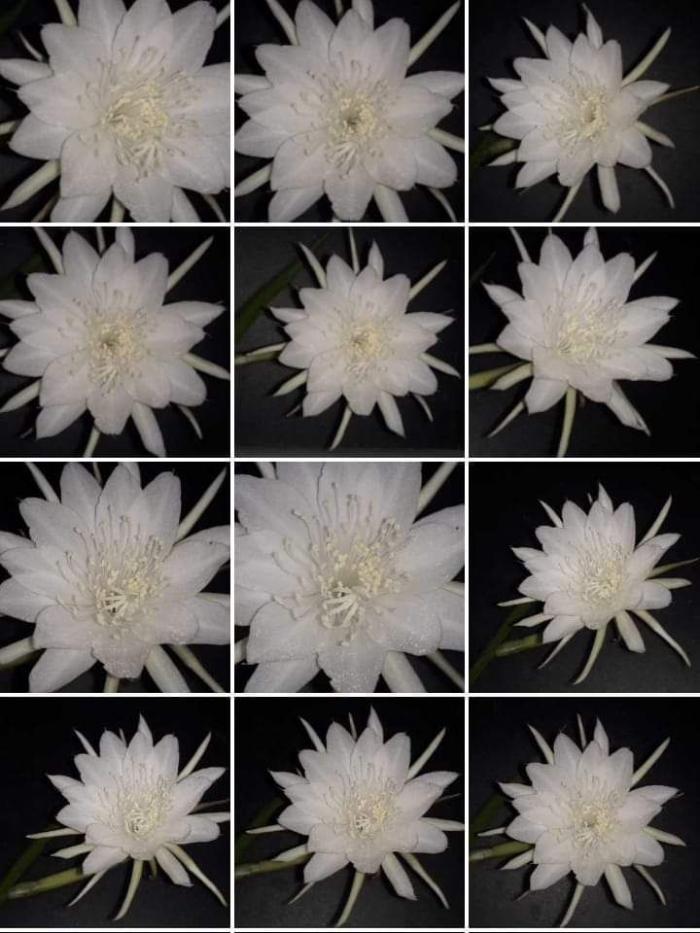 Bunga Wijaya Kusuma. Photo by Ari