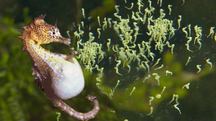 Biologi Laut: Bukan Betina, Kuda Laut Jantan Hamil dan Melahirkan - Kompasiana.com