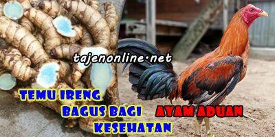 Ayam Aduan - tajenonline.net