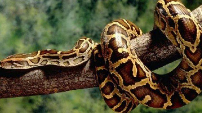 ular piton di dahan pohon/snopes.com