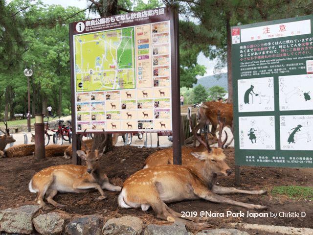 Dokumentasi pribadi | Nara Park dn si kijang totol yang bersantai dimanapun mereka mau .....