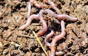 Ilustrasi cacing keluar dari dari (sumber:beritasatu.com)