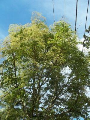 Pohon sungkai berbunga - Foto creative commons https://www.flickr.com/photos/3angel/