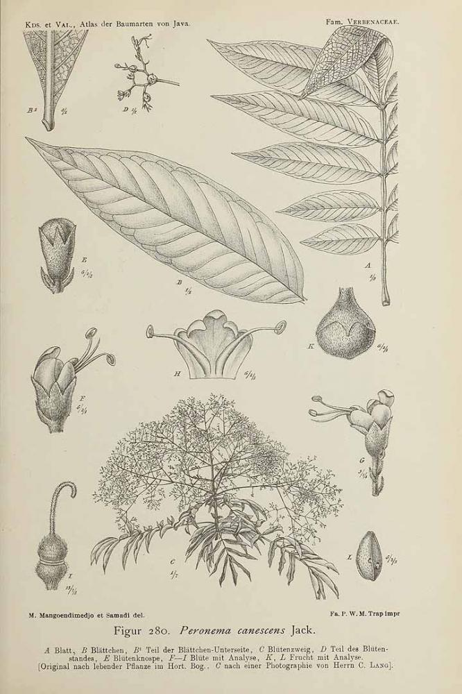 Tanaman sungkai sudah diteliti orang Eropa yang datang ke Jawa. Ini gambar dari Atlas der Baumarten von Java (1914).