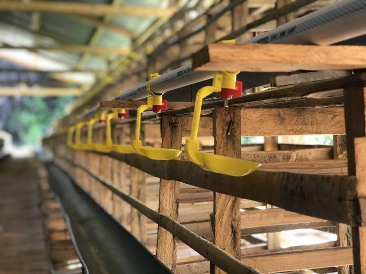 Foto Artikel : Modal Usaha Ayam Petelur 1000 Ekor ...