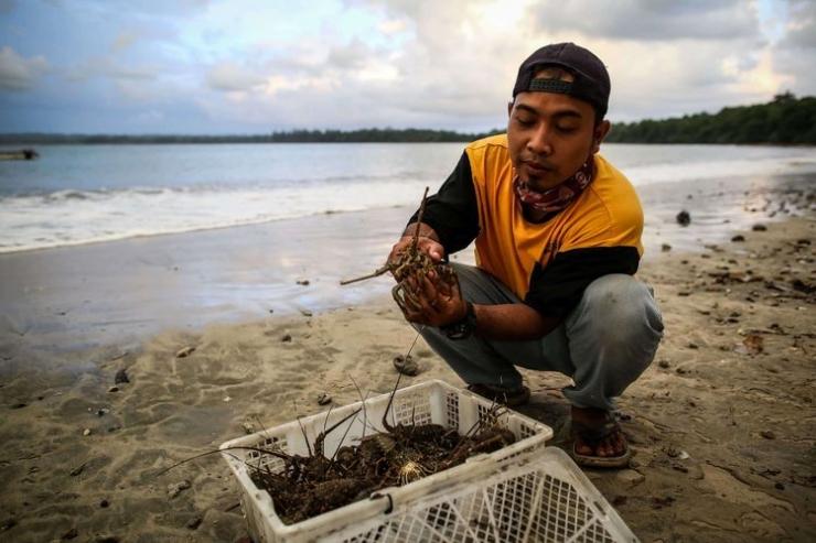 Ilustrasi: Petugas menunjukkan seekor lobster sebelum dilepaskan ke laut di Kawasan Konservasi Tambling, Lampung, Kamis (23/1/2020). Petugas Bakamla mengamankan sekitaran 30 ekor lobster yang terjebak jaring nelayan saat melakukan patroli laut sekitar daerah Batu Tiang, Kawasan Way Haru, Kabupaten Pesisir Barat, Lampung. (Foto: KOMPAS.com/GARRY LOTULUNG)