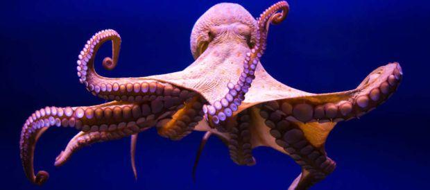 Gurita (Octopus spp.) di Lautan [Sumber: ionrockinstitute.org]