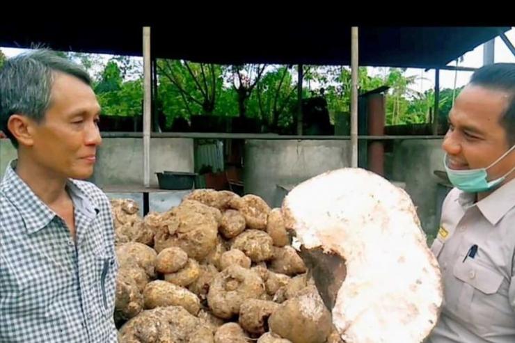 Ilustrasi Tumbuhan liar bernama porang (Amorphophallus oncophyllus) dari hutan di Sibolga, Tapanuli Tengah kini telah menjelma menjadi salah satu komoditas ekspor unggulan asal Sumatera Utara (Sumut) yang laris di tiga negara, yakni Cina, Thailand dan Vietnam. Pada semester I/2020, tercatat ekspor porang sebanyak tercatat 362 ton dengan nilai barang Rp 7,2 miliar.(Dok. Istimewa)