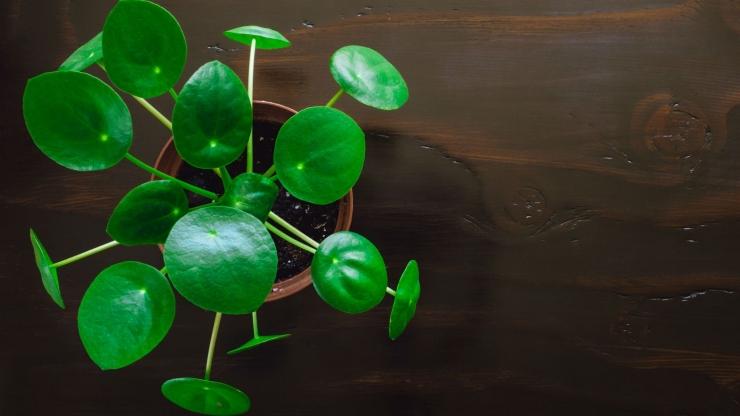 Chinese Money Plant, sumber: radiichina.com