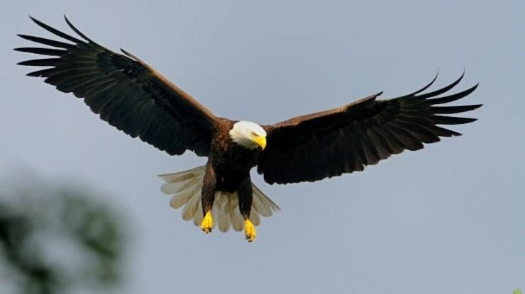 Sumber gambar : https://www.mass.gov/news/species-spotlight-bald-eagles