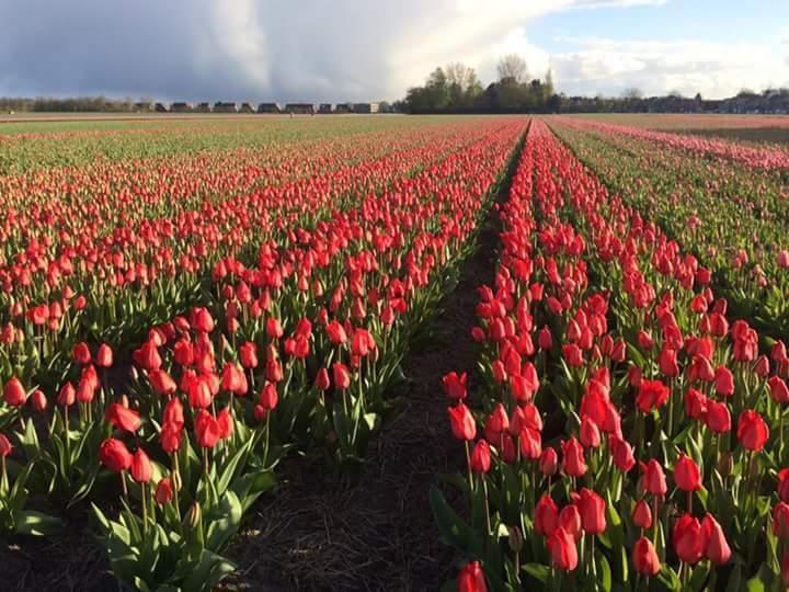 Ladang Bunga Tulip di Lisse. (Sumber: Dokumentasi pribadi)