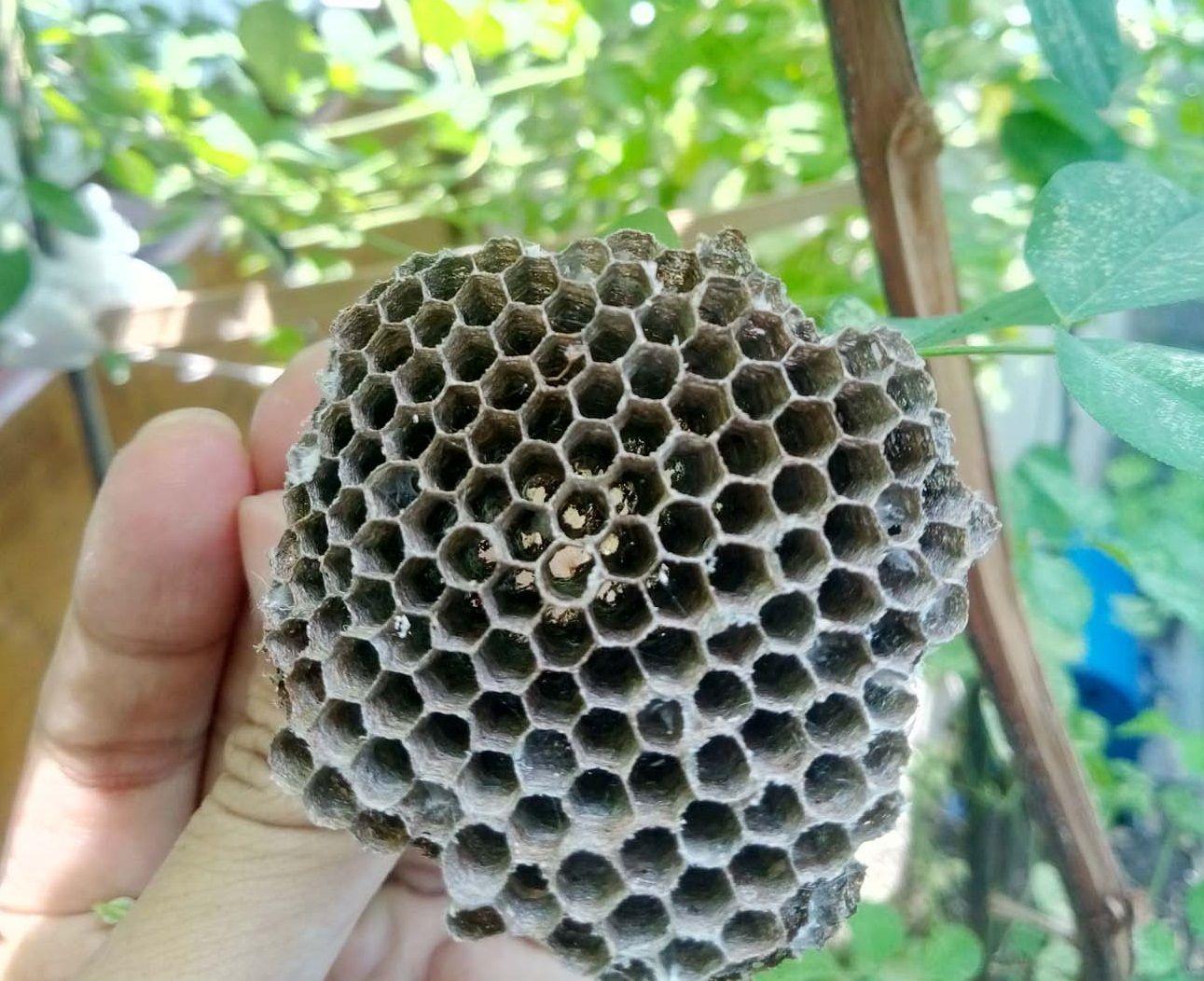 Sarang lebah yang rumit tapi indah, menunjukkan mutu binatang yang sangat berjasa. (Foto: dok. pri)