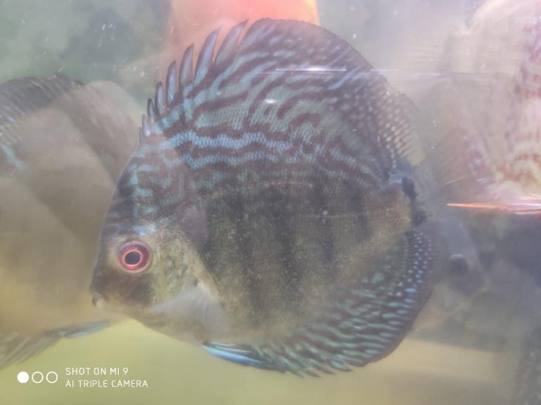 Salah satu Ikan Discus saya, sumber: dokpri