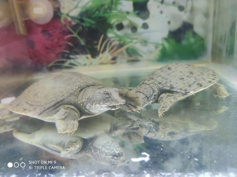 Kedua Labi-labi saya di dasar akuarium, sumber: dokpri