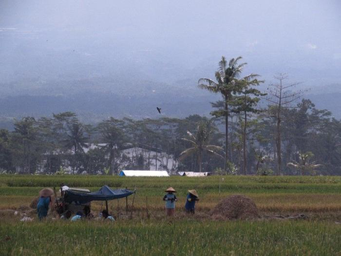 Kegiatan Panen yang dilakukan oleh Masyarakat Glanggang (Dokumentasi Pribadi)<br /><br />