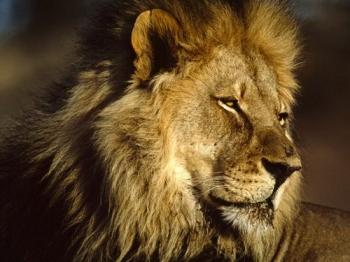 Singa VS Jaguar - Kompasiana com