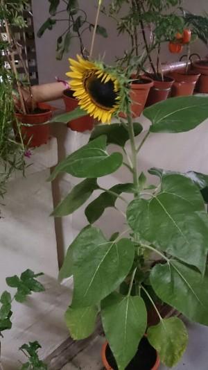Menanam Bunga Matahari Dalam Pot Kenapa Tidak Kompasiana Com
